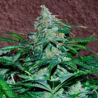 World of Seeds Amnesia Autoflowering female Seeds