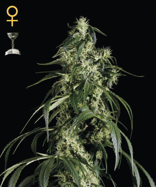 Greenhouse Seed Co. Arjan's Haze #1 female Seeds