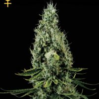 Greenhouse Seed Co. Arjan's Haze #3