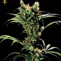 Greenhouse Seed Co. Arjan's Strawberry Haze female Seeds