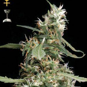 Greenhouse Seed Co. Arjan's Ultra Haze #1 female Seeds