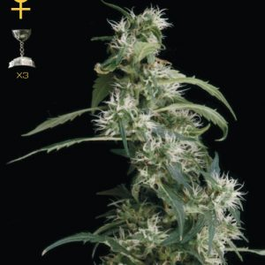 Greenhouse Seed Co. Arjan's Ultra Haze #2 female Seeds