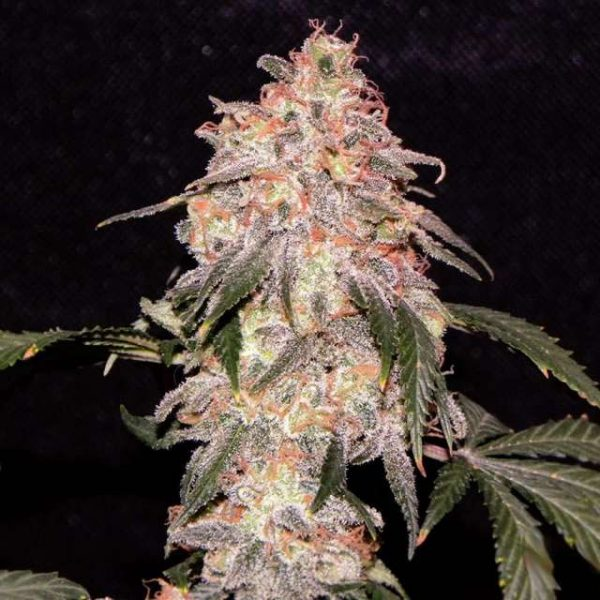 Nirvana Seeds Aurora Indica female Seeds