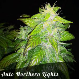 Bulk Seeds Auto Northern Lights female seeds