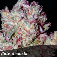 Discount Female Seeds Auto Amnesia female seeds