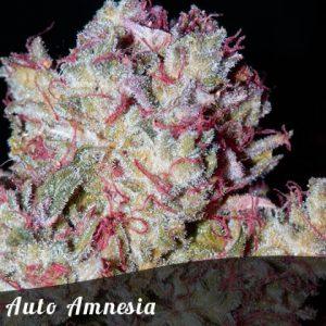 Bulk Seeds Auto Amnesia female seeds