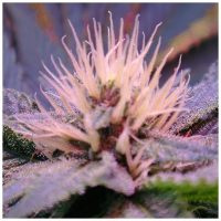 Nirvana Seeds Auto Blue Mystic female Seeds