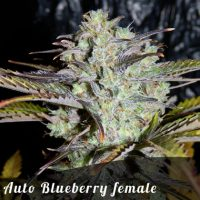 Bulk Seeds Auto Blueberry female seeds