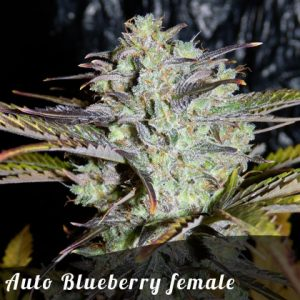 Discount Female Seeds Auto Blueberry female seeds
