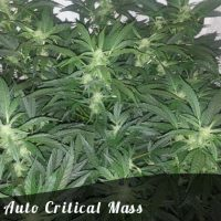 Discount Female Seeds Auto Critical Mass female seeds
