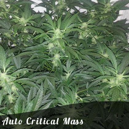 Discount Female Seeds Auto Critical Mass female seeds