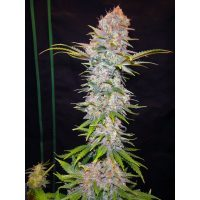 Nirvana Seeds Auto Jock Horror female Seeds