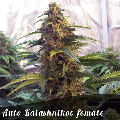 Discount Female Seeds Auto Kalashnikov female seeds