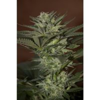 Seedsman Auto Mini Gun female Seeds