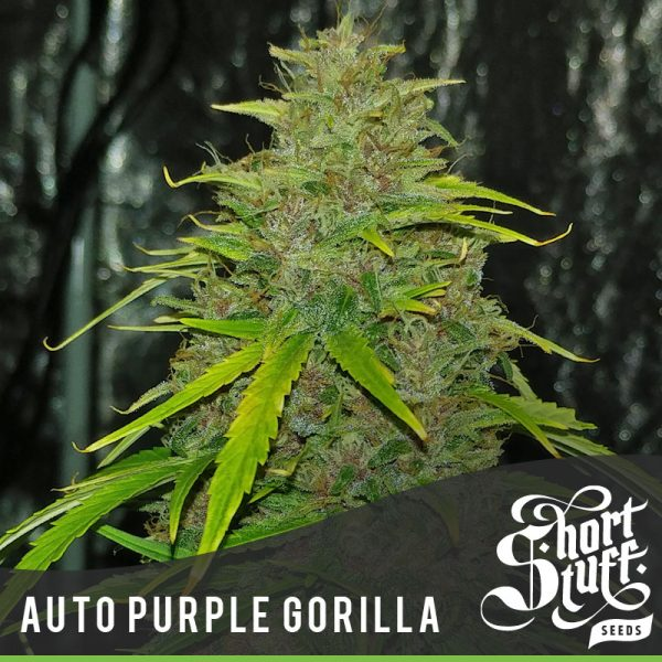 Shortstuff seeds Auto Purple Gorilla female