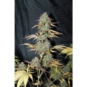 Seedsman Auto UK Cheese female Seeds