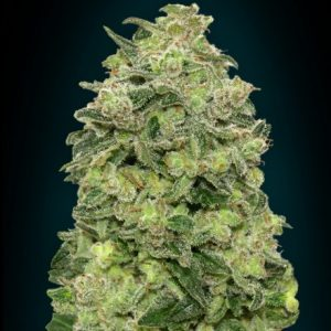 Advanced Seeds Afghan Skunk female seeds
