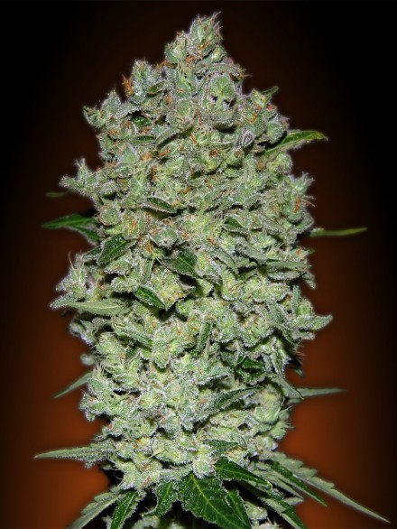 Advanced Seeds Auto Afghan Skunk female seeds
