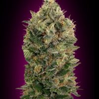Advanced Seeds Auto Biodiesel Mass female seeds