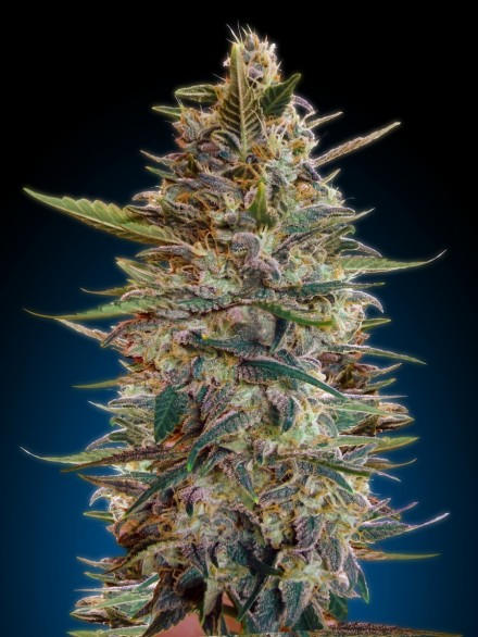 Advanced Seeds Auto Blue Diesel female seeds