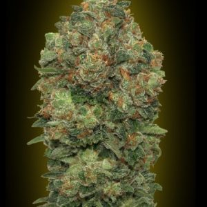Advanced Seeds Auto Critical Soma female seeds