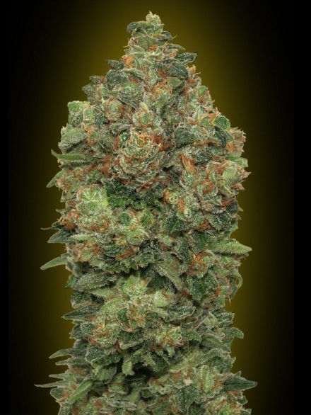 Advanced Seeds Auto Black Diesel female seeds