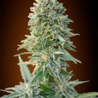 Advanced Seeds Auto Jack Herer female seeds