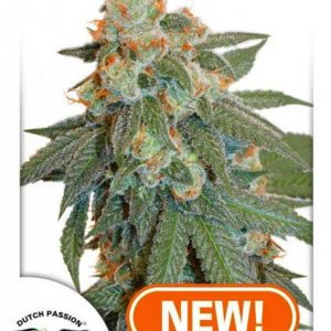 Dutch Passion Auto Orange Bud female seeds
