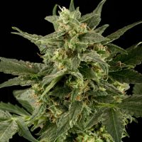 blackskull AUTO PINEAPPLE GUM FEMALE