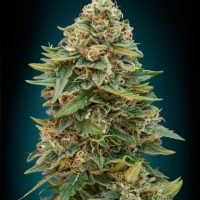 Advanced Seeds Auto Skunk 47 female seeds