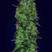 Advanced Seeds Auto Skunk Mass female seeds