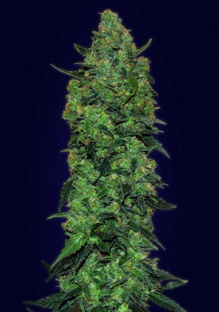 Advanced Seeds Auto Somango female seeds