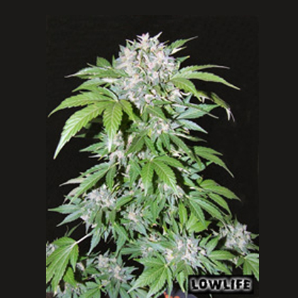 Lowlife seeds Auto AK 47 female