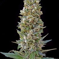 Advanced Seeds Automatic Mix female seeds