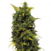 Barney's Farm Blue Cheese female Seeds