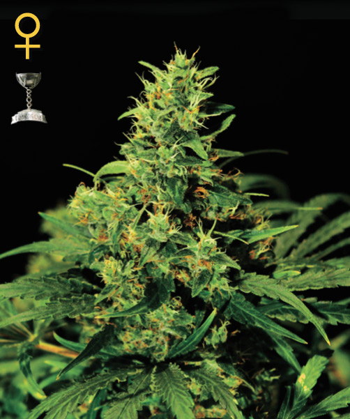 Greenhouse Seed Co. Big Bang female Seeds