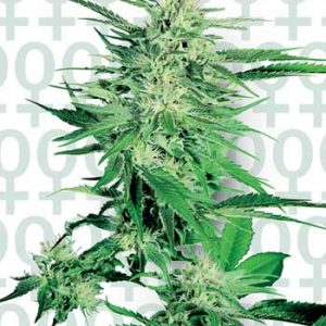 Sensi Seeds Big Bud female Seeds