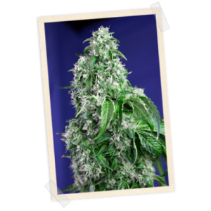 Sweet Seeds Big Devil FAST Version female Seeds