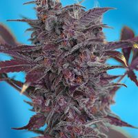Sweet Seeds Black Cream Auto female Seeds