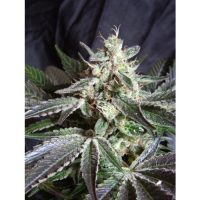 Sweet Seeds Black Jack Auto female Seeds