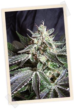 Sweet Seeds Black Jack FAST Version female Seeds
