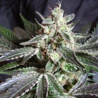 Sweet Seeds Black Jack female Seeds
