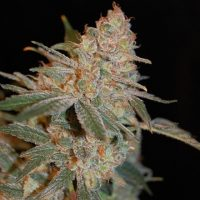 Advanced Seeds Black Diesel female seeds