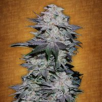 Fast Buds Blackberry female seeds