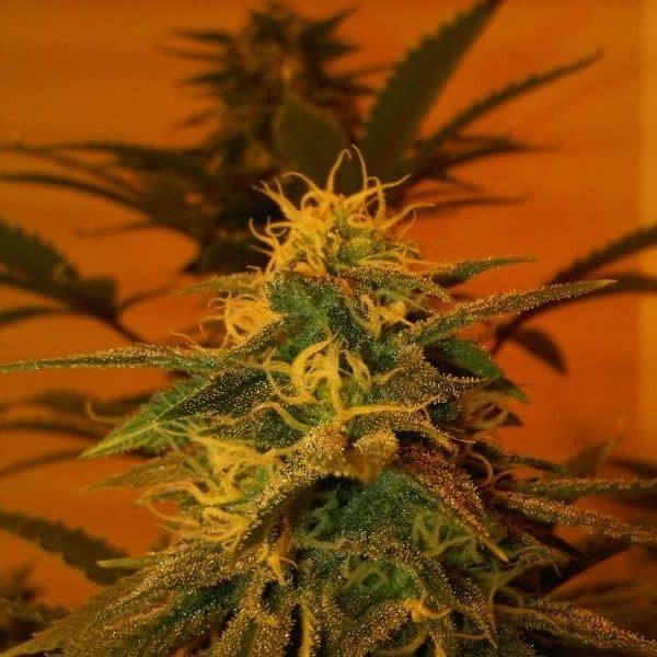 Nirvana Seeds Black Jack female Seeds