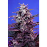Sweet Seeds Bloody Skunk AUTO female Seeds