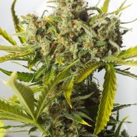Dinafem Blue Critical Auto female Seeds