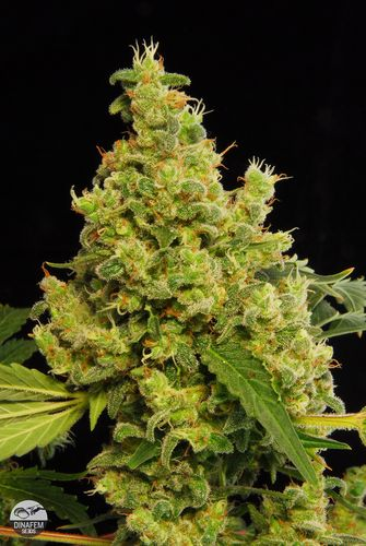 Dinafem Blue Hash female Seeds