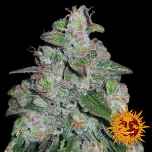 Barney's Farm Blueberry OG female seeds