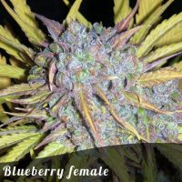Bulk Seeds Blueberry female seeds